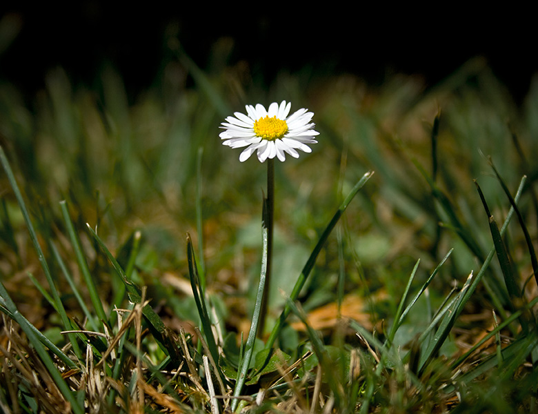 Single daisy growing that represents letting go of your past and having the courage to move forward.